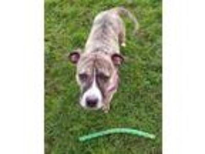 Adopt Lola a Brindle - with White Bull Terrier dog in Olympia, WA (25900100)
