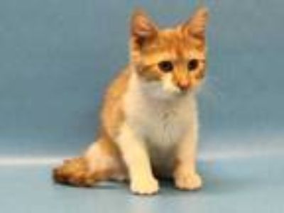 Adopt Daffodil a Orange or Red Domestic Shorthair / Mixed cat in Golden Valley