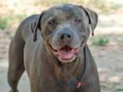 Adopt DODGER a Mixed Breed, Pit Bull Terrier