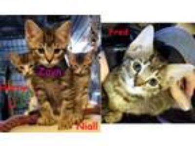 Adopt Griswold Kittens a Tabby