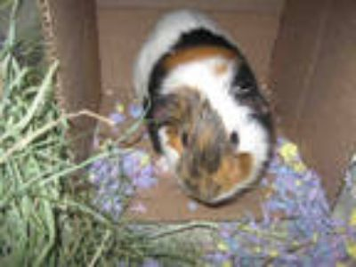 Adopt *HECTOR a Black Guinea Pig / Mixed small animal in Santa Rosa