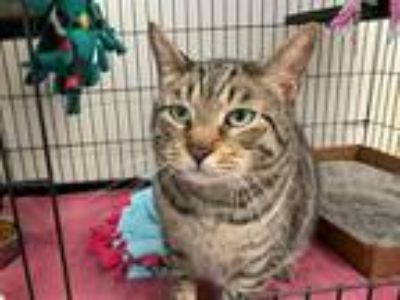 Adopt JOKER a Brown Tabby Domestic Shorthair / Mixed (short coat) cat in Fort