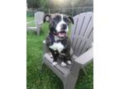 Adopt Ralphina a Brindle - with White American Pit Bull Terrier / Mixed Breed