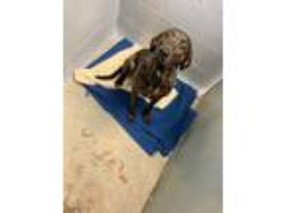 Adopt 41886959 a Plott Hound, Mixed Breed