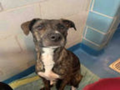 Adopt NIKKI a Brindle American Pit Bull Terrier / Greyhound / Mixed dog in