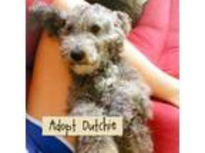 Adopt Dutchie a Poodle