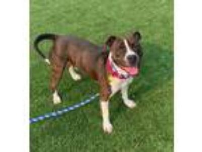 Adopt Hondo 137 a Brown/Chocolate American Pit Bull Terrier / Mixed dog in