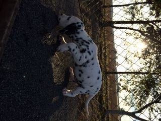 Dalmatian PUPPY FOR SALE ADN-49470 - Beautiful Dalmatian Puppies