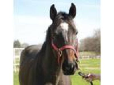 Thoroughbred Gelding English