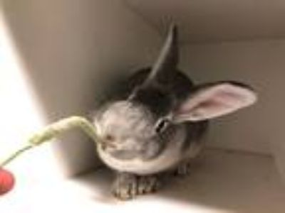 Adopt Tuny a Other/Unknown / Mixed (short coat) rabbit in New York
