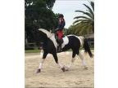 Friesian cross proven broodmare 2nd level dressage stunning tobiano