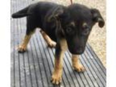 Adopt A Crowd Ainsley a German Shepherd Dog, Australian Shepherd