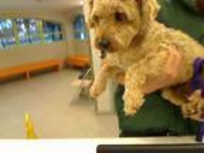Adopt UNKNOWN a Brown/Chocolate Wheaten Terrier / Mixed dog in Rancho Cucamonga
