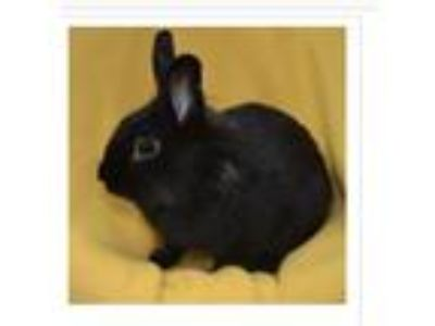 Adopt Rocky a Black Lionhead / Mixed (short coat) rabbit in Winfield