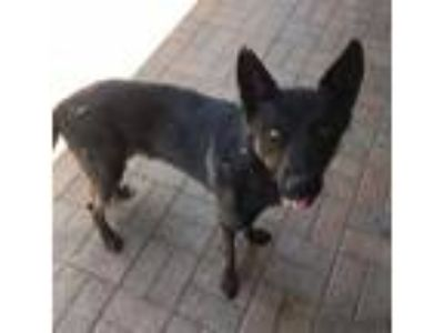 Adopt ZEUS a Black German Shepherd Dog / Mixed dog in Mesquite, TX (25878274)