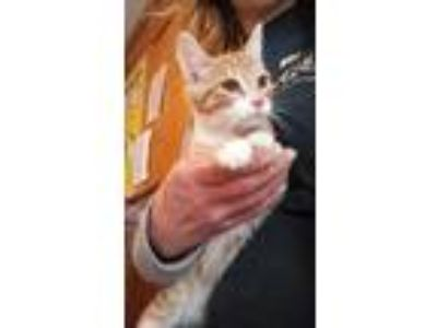 Adopt Margaret a Orange or Red Domestic Shorthair / Domestic Shorthair / Mixed