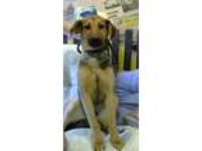 Adopt molly a Black German Shepherd Dog / Mixed dog in Henderson, KY (25225721)