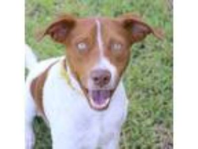 Adopt Red a Hound, Mixed Breed