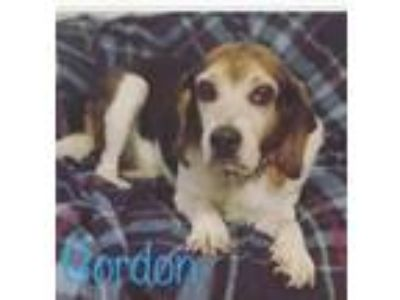 Adopt Gordon a Beagle