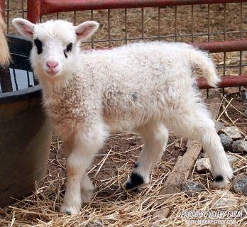 Lambs! Harlequins, Shetlands, Cheviots and more!