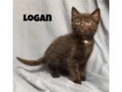 Adopt Logan a Domestic Shorthair / Mixed (short coat) cat in Williamstown