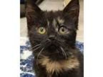 Adopt Monarch a Tortoiseshell Domestic Shorthair / Mixed cat in San Marcos