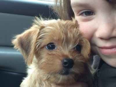 Male Morkie Puppy (Maltese & Yorkshire Mix) For Sale