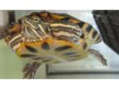 Adopt Baz a Turtle - Water reptile, amphibian, and/or fish in Golden