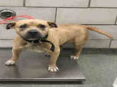 Adopt DAISY a Tan/Yellow/Fawn American Pit Bull Terrier / Mixed dog in Dallas