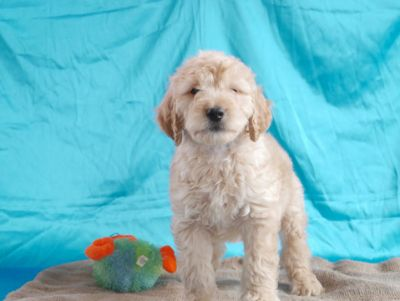 Golden Retriever PUPPY FOR SALE ADN-76675 - Kyle 702892 English Cream Retriever