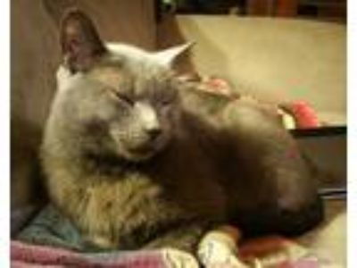 Adopt Slate a Gray or Blue Domestic Shorthair (short coat) cat in St.