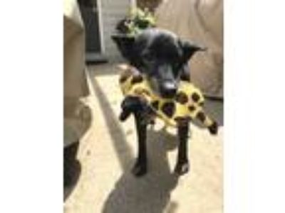 Adopt Wiley a Black - with Tan, Yellow or Fawn German Shepherd Dog / Mixed dog