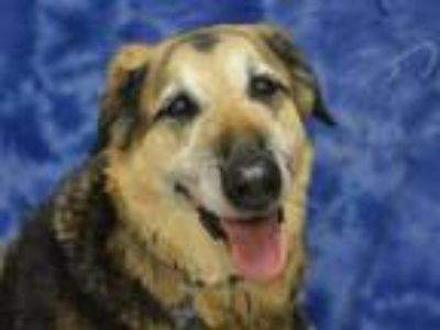 Adopt Daisy Mae a German Shepherd Dog / Mixed dog in Portland, OR (25831591)
