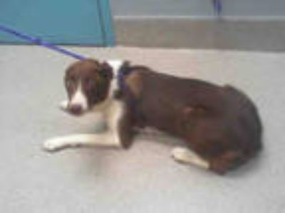 Adopt *SERENA a Brown/Chocolate - with White Border Collie / Mixed dog in Las