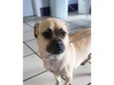 Adopt Odie a Pug / Beagle / Mixed dog in Fort Myers, FL (25853683)