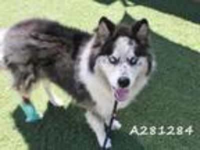 Adopt SHILOH a Siberian Husky, Mixed Breed