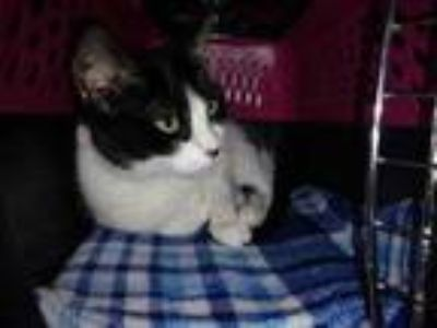 Adopt Kelly a White Domestic Shorthair / Domestic Shorthair / Mixed cat in