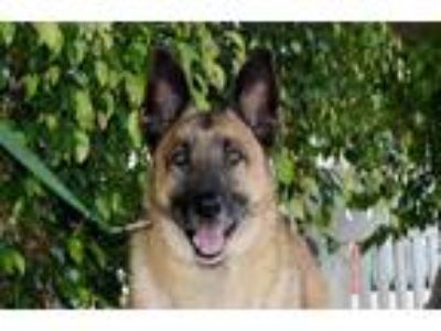 Adopt Rocky a Tan/Yellow/Fawn - with Black German Shepherd Dog / Mixed dog in