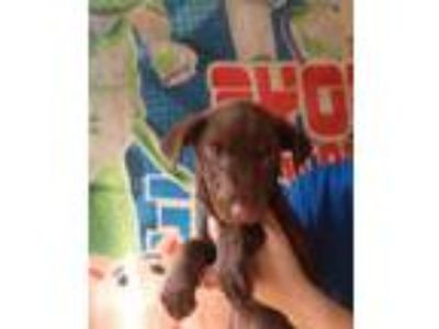 Adopt Hot Chocolate a Chocolate Labrador Retriever