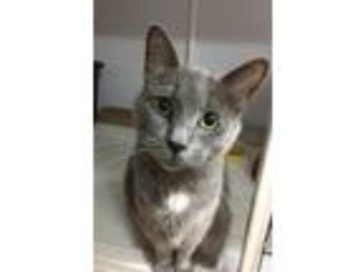Adopt Hayes a Gray or Blue (Mostly) Russian Blue cat in Youngsville