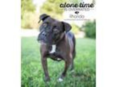 Adopt Rhonda a Boxer, Mixed Breed