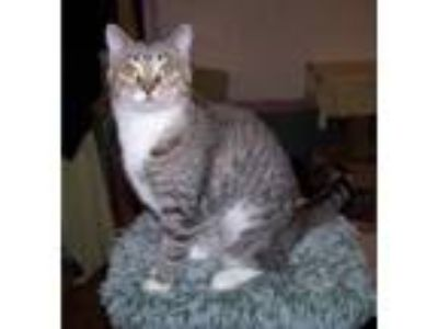 Adopt Phoenix a Domestic Short Hair, Tabby