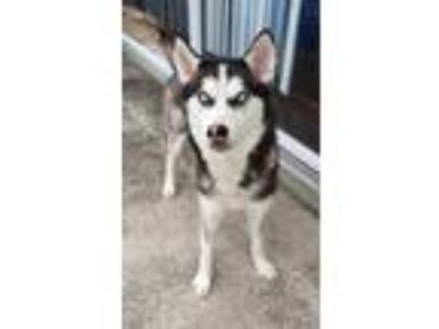 Adopt Jenna a Black - with White Siberian Husky / Mixed dog in Winter Springs