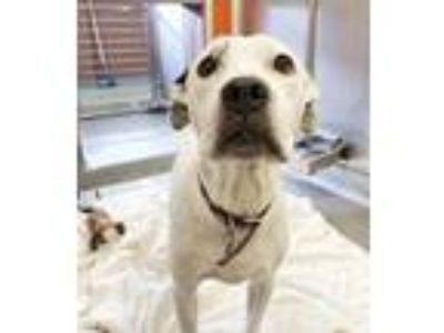 Adopt Beegee a White American Pit Bull Terrier / Mixed dog in Dallas