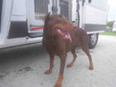 Adopt THALIA a Brown/Chocolate - with Tan Doberman Pinscher / Mixed dog in
