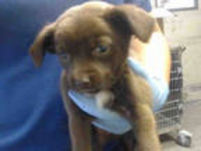Adopt a Brown/Chocolate Terrier (Unknown Type, Medium) / Mixed dog in Downey