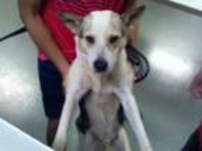 Adopt HUNTER a White - with Gray or Silver Husky / Mixed dog in Charlotte