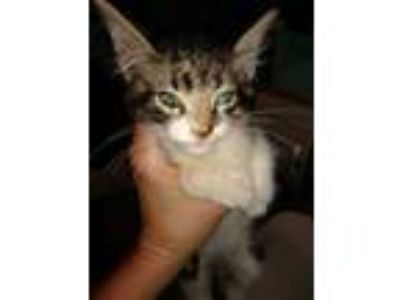 Adopt (found) Penny a Gray or Blue Domestic Shorthair / Domestic Shorthair /