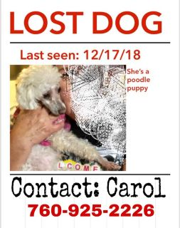 Missing small poodle