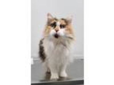 Adopt Patches a Domestic Longhair / Mixed (short coat) cat in Angola